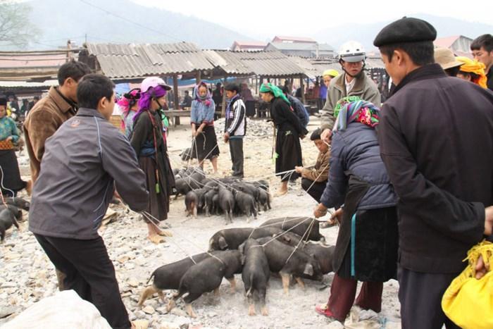 Lợn cắp nách được người dân địa phương mang đi bán.